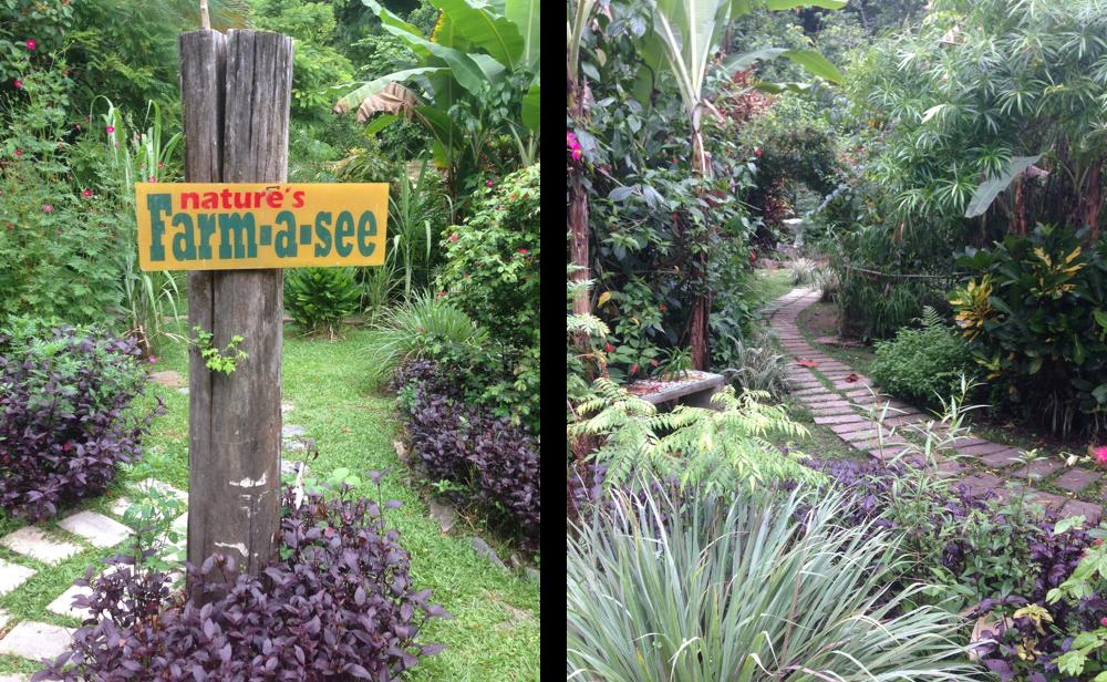 Farm to table eating - Trini style   Olive & Mango